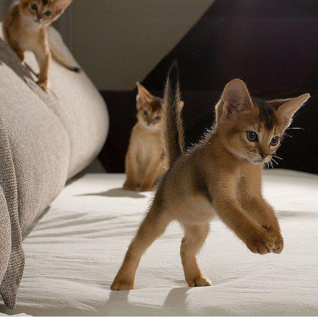 котята абиссинцы