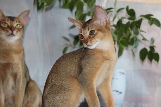 взрослые кошки абиссинцы