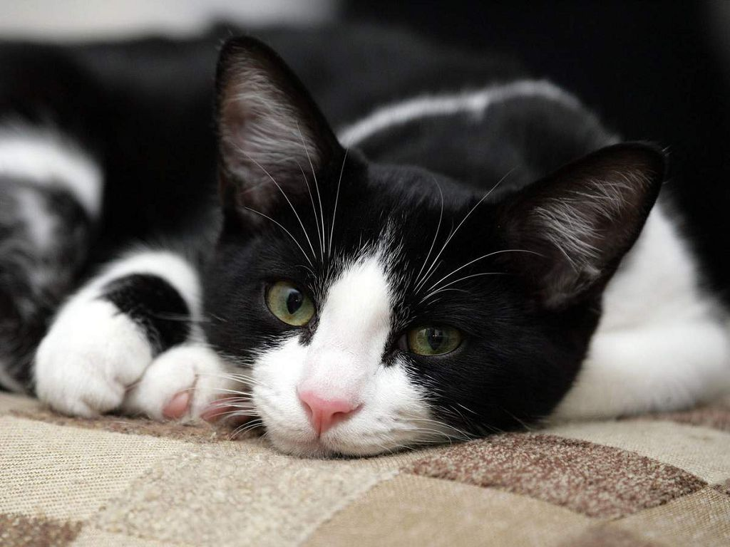 Кальцивироз у кошек