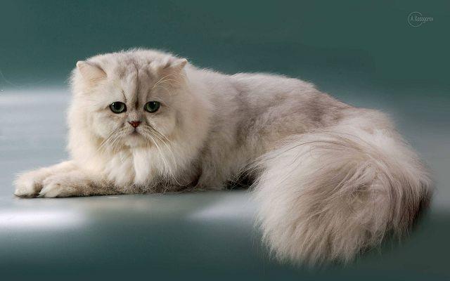 Персидская порода кошек