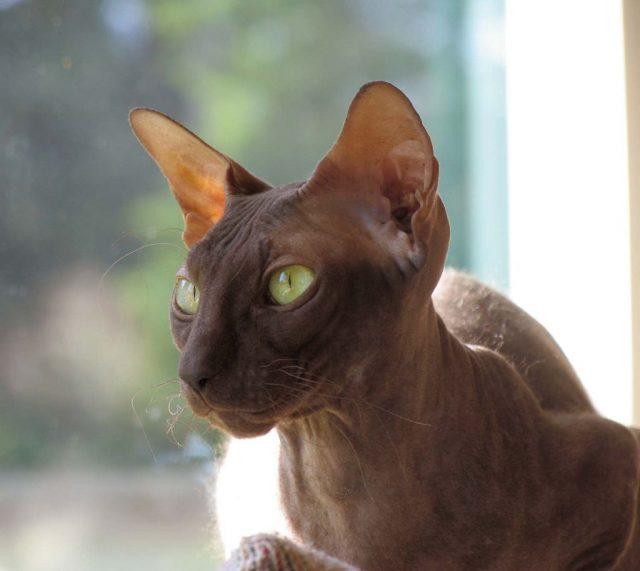 Петерболд кот