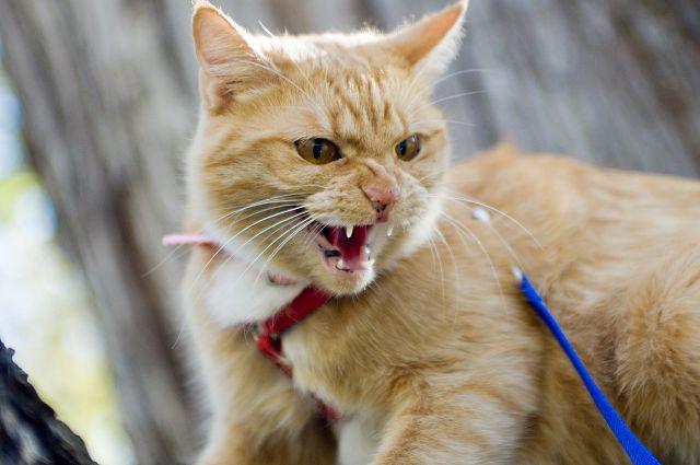 Признаки бешенства у кошки