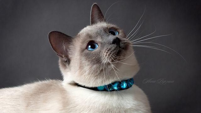 Тайские кошки описание породы характер