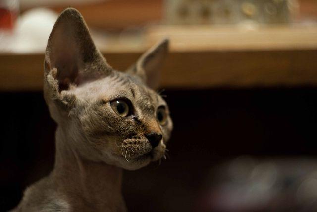 Кошка Девон рекс серая