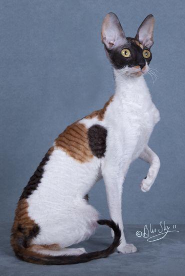 кошка породы корниш рекс