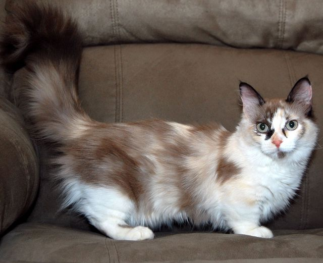 Кошки манчкин шоколадно-белая