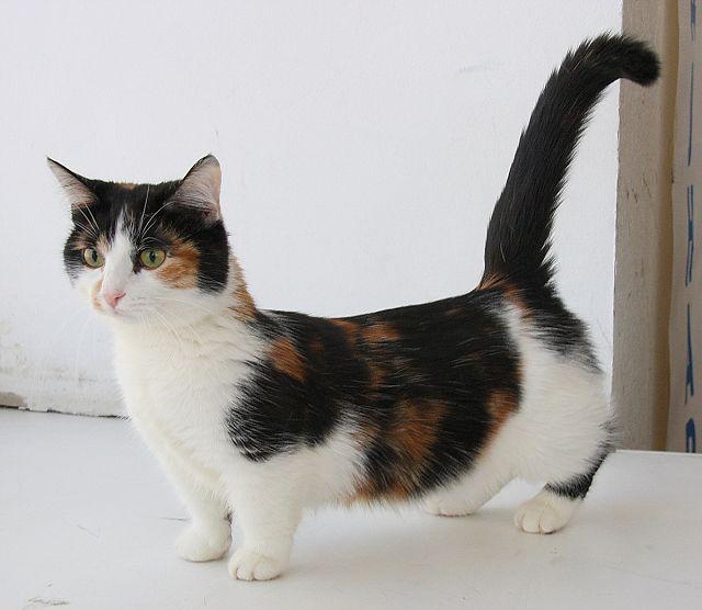 Кошки манчкин трехцветная