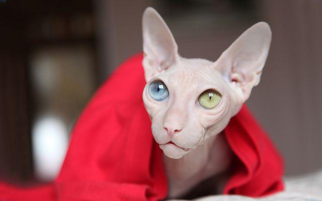 Лысый кот как ухаживать