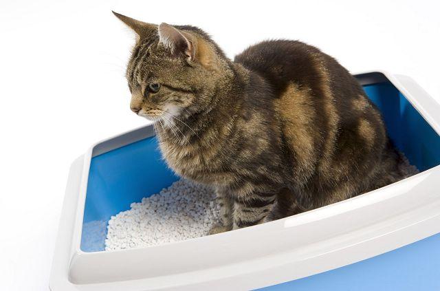 Непроходимость кишечника у кошек