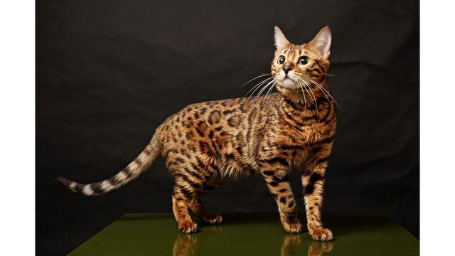 Бенгальская кошка Brown Tabby