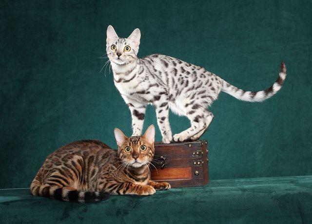 Бенгальская кошка Brown Tabby и серебристый