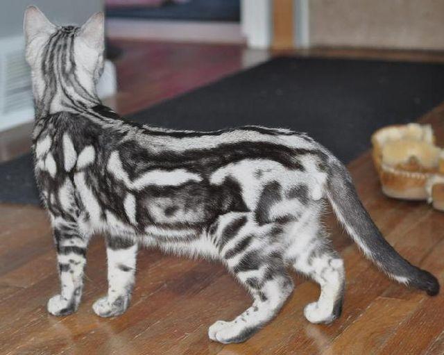 Бенгальская кошка серебристый
