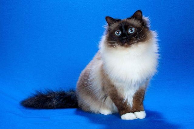 Священная бирманская кошка не любит суету