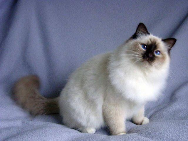 Бирманская кошка блю пойнт