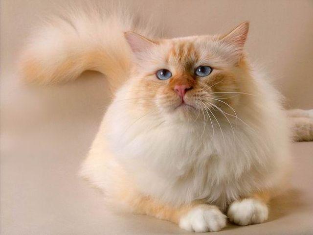 Бирманская кошка с лиловыми пятнами