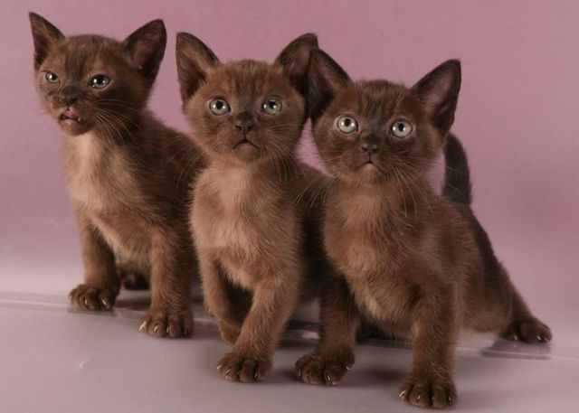 Бурманские котята окрас соболиный
