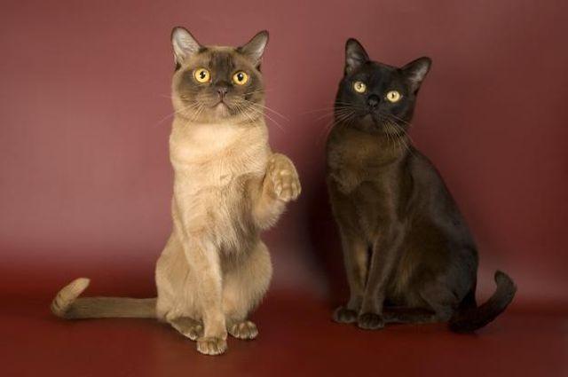 Бурманская кошка окрас соболиный и шампань