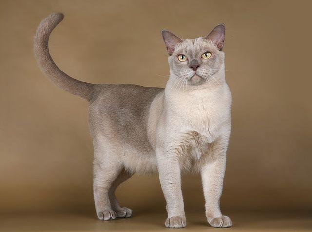 Бурманская кошка окрас шампань