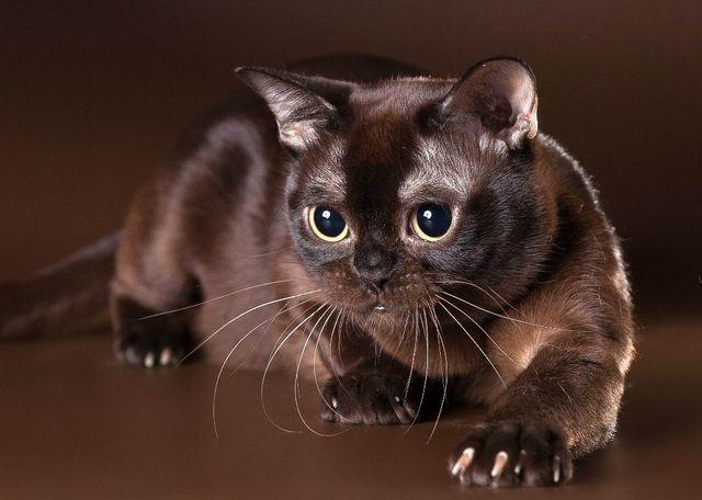 Бурманская кошка окрас соболиный