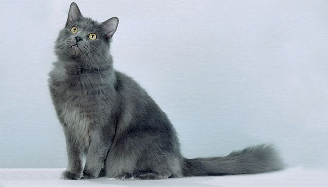 Кошка нибелунг