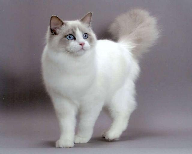Кошка рэгдолл Колор пойнт