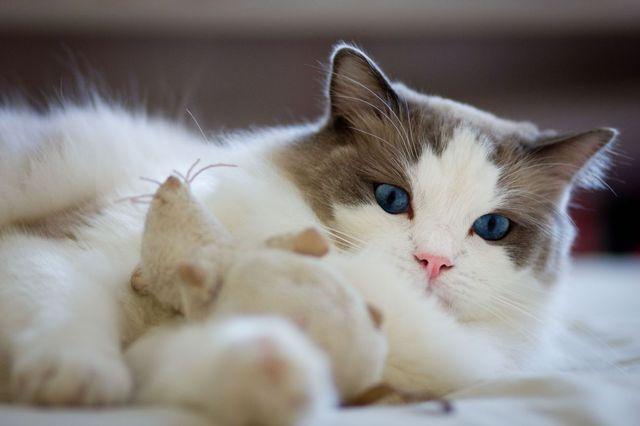 Кошка рэгдолл Би-колор