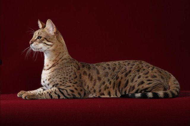 Кошки саванна f1
