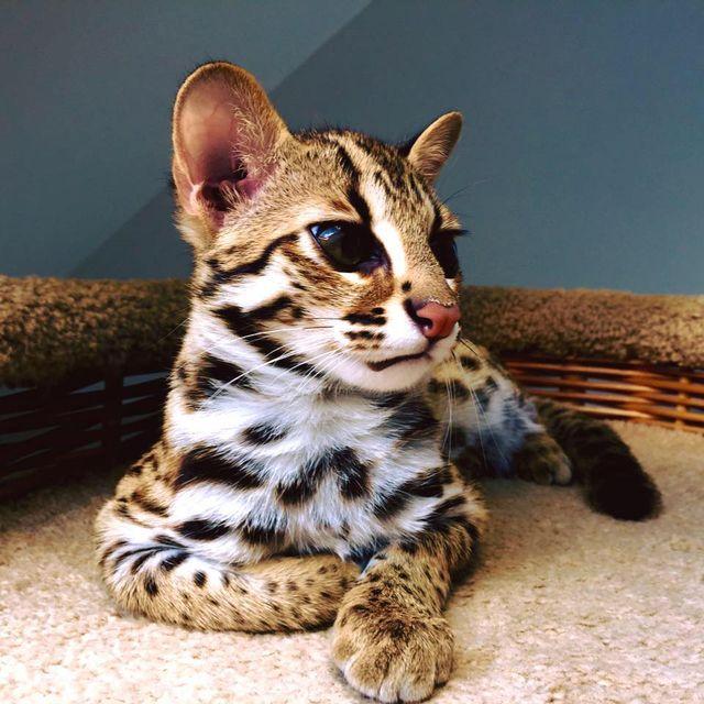Кошки саванна f2