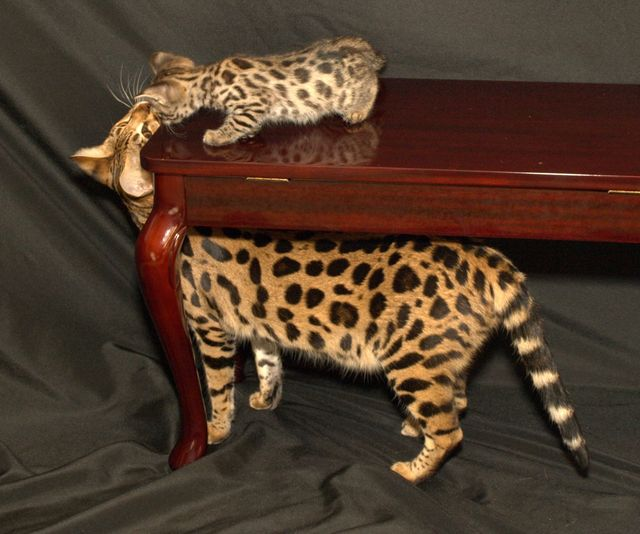 Кошки саванна золотистый