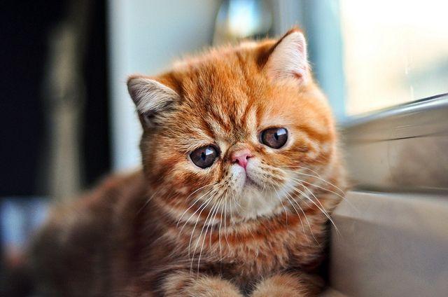 Кот экзот рыжий