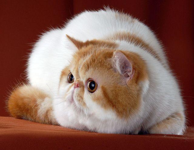 Кот экзот черепаховый