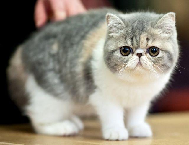 Кот экзот сколько живут