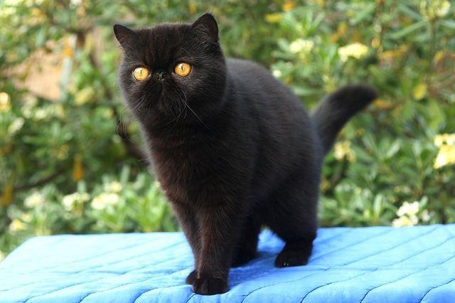 Сколько живут коты экзоты