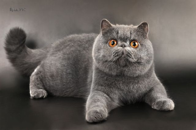 Коты перс экзот