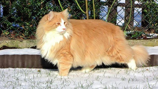 Норвежская лесная кошка рыжий