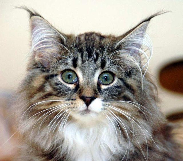 Норвежская лесная кошка табби