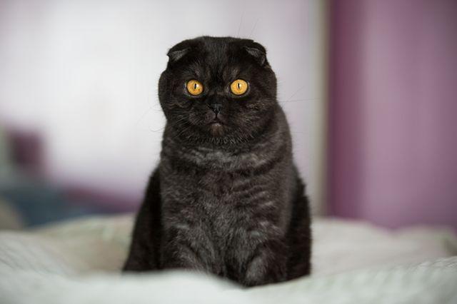 Скоттиш фолд окрас черный