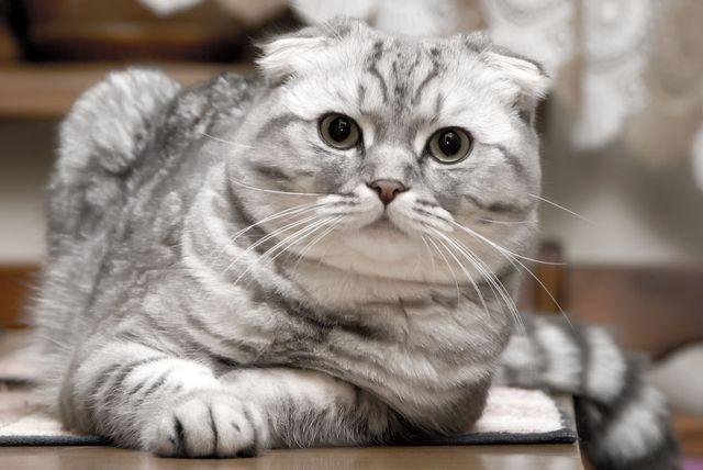 Сколько живут шотландские коты кастрированные