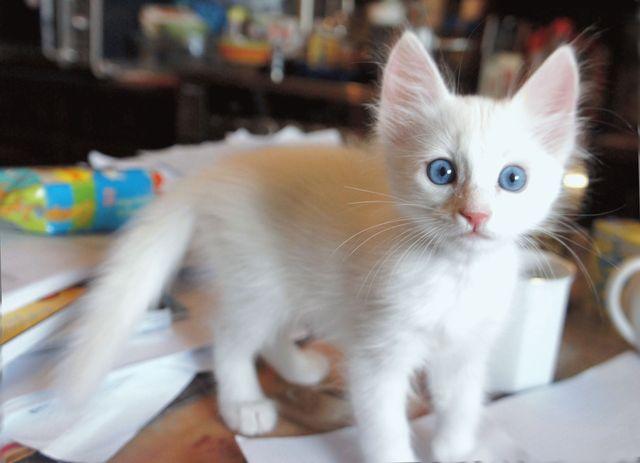 Котенок породы Турецкая ангора
