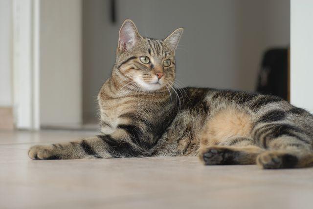 Кошка европейская короткошерстная дикий окрас