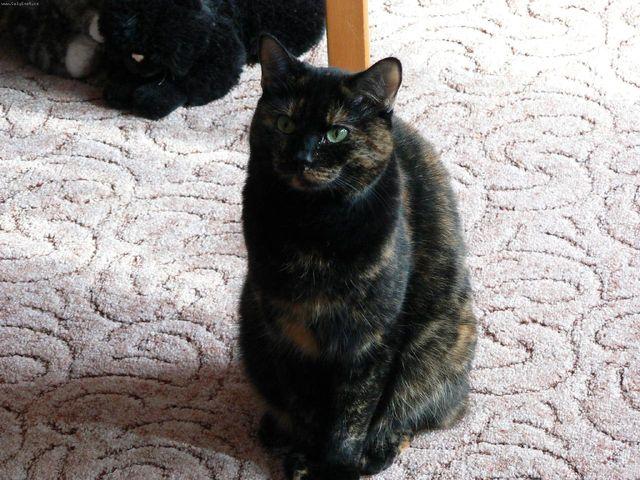 Кошка европейская короткошерстная черный окрас