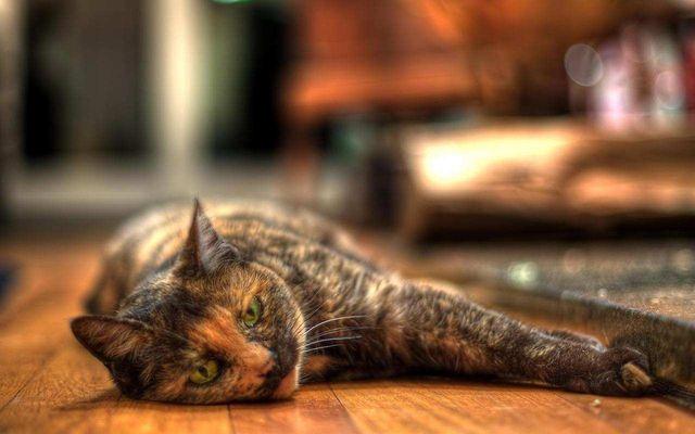 Кошка европейская короткошерстная черепаховый окрас