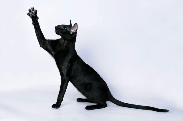 Кошка Ориентал эбони