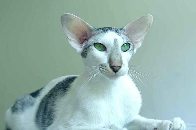 Кошка Ориентал фавн
