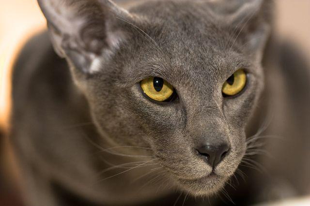 Кошка Ориентал серый