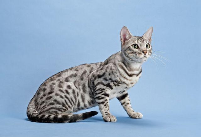 Кошки Серенгети серебристый