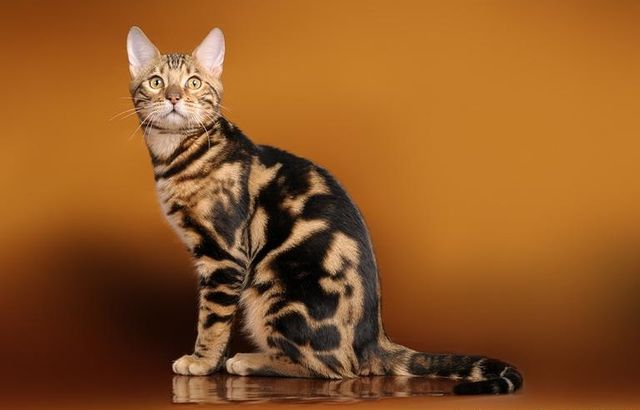 Кошки Серенгети коричневый
