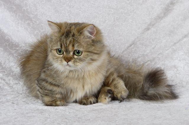 Кошка породы наполеон дикий окрас