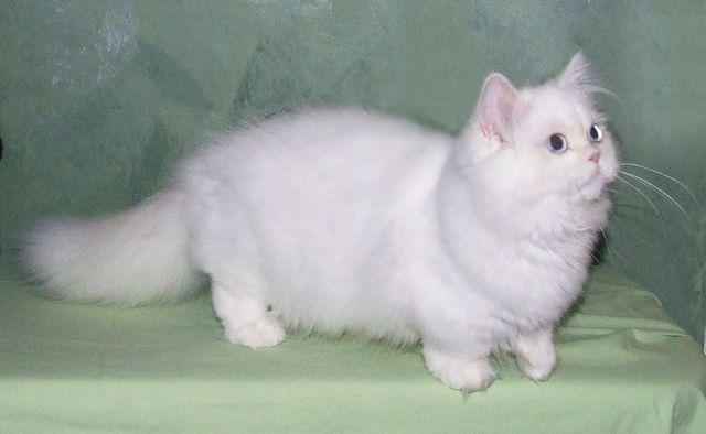 Кошка породы наполеон белый окрас