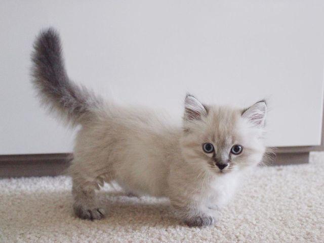 Кошка породы наполеон кремовый окрас